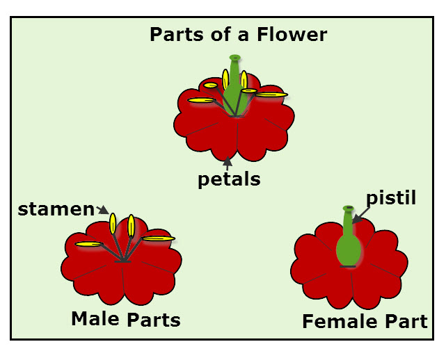 Male And Female Flower Parts  Stamen And Pistil